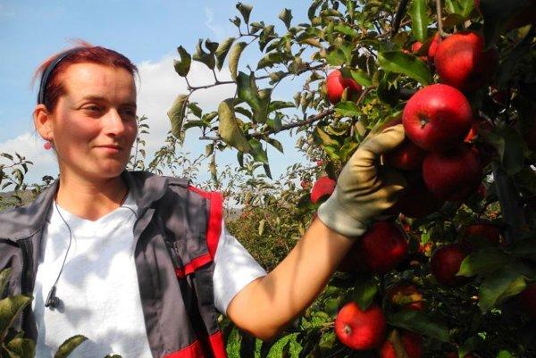 Zber jabĺk v obci Sedliská. Končia najmä na domácom trhu.