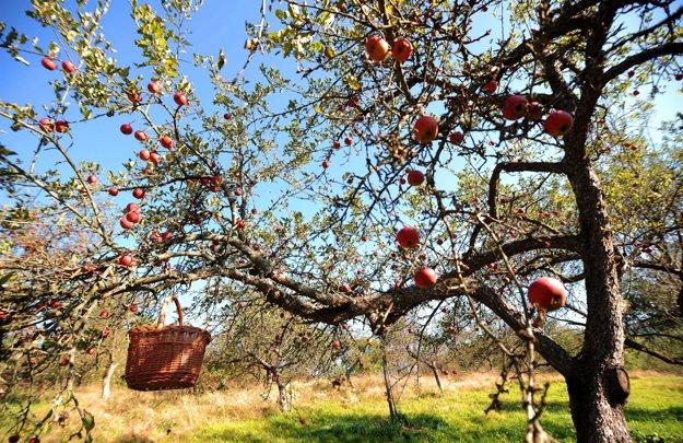 Starý jabloňový sad počas samozberu rôznych odrôd jabĺk v osade Španie pri obci Nová Bošáca. Nová Bošáca