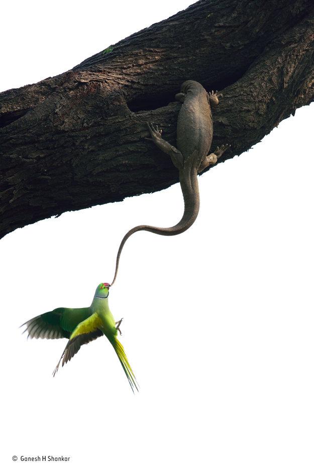 Ladniak Kramerov sa snaží vyhostiť Bengálskeho varana (Varanus bengalensis) zo stromu, v ktorom by chcel hniezdiť. Víťaz kategórie Vtáky. FOTO - GANESH H SHANKAR/WILDLIFE PHOTOGRAPHER OF THE YEAR 2016