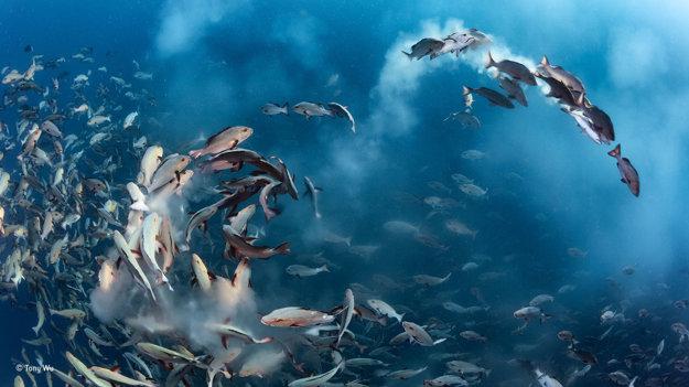 Ryby druhu Lutjanus bohar sa každý mesiac hromadne pária vo vodách Tichého oceánu. Do vody vypustia množstvo vajíčok a spermií, ktoré lákajú predátorov. Tony Wu sa tento rituál pokúšal odfotiť od roku 2012. Keď sa mu to konečne podarilo, všimol si, že ryby pri párení menia svoje červené sfarbenie na rozličné iné farby a vzory. Víťaz kategórie Pod vodou. FOTO - TONY WU/WILDLIFE PHOTOGRAPHER OF THE YEAR 2016