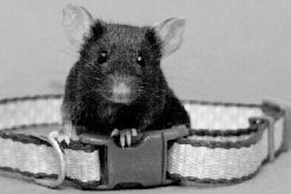Vďaka myšiam, ktoré sa budú dať nakaziť chrípkou, budú môcť vedci testovať nové lieky proti kašľu i astme. ILUSTRAČNÉ
