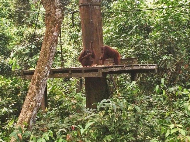 Krmenie orangutanov