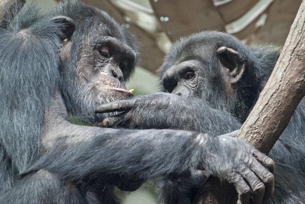 Šimpanzy sa nespoznávajú podľa tváre, ale podľa zadkov.
