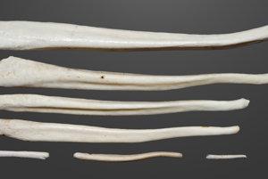 Penisové kosti hnedých medveďov.