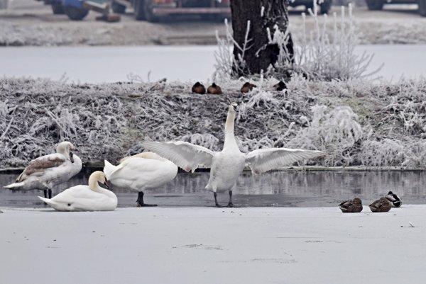 Odborníci považujú migrujúce vtáky za možný zdroj nákazy vtáčou chrípkou.
