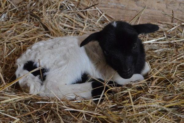 Malá ovca kamerunská.