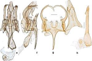 Samčie pohlavné orgány Neopalpi donaldtrumpi.