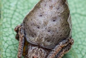 Pavúk Eriovixia gryffindori sa podobá na triediaci klobúk z Harryho Pottera. Meno dostal po jeho  pôvodnom majiteľovi a fiktívnom čarodejníkovi Godricovi Gryffindorovi (Richardovi Chrabromilovi).