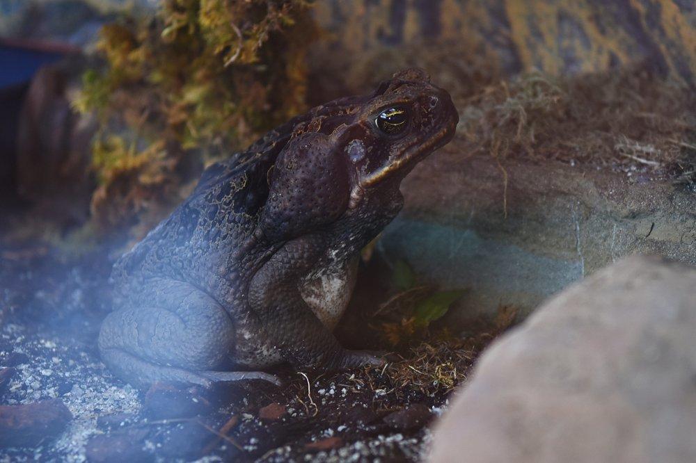 Na snímke najväčšia žaba na svete, ropucha obrovská v teráriu Wild parku.