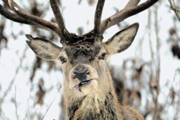 Šéf už zaniknutého Špeciálneho súdu má dobrú mušku. Za lov jeleňov, danielov aj muflónov platiť nemusel.