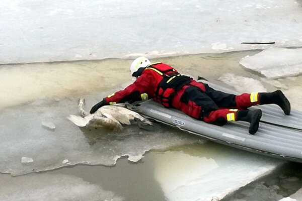 Mŕtve labute boli medzi ľadovými kryhami.