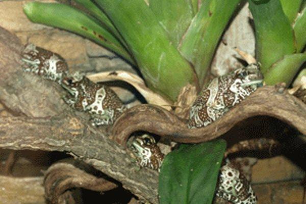 Niektoré žaby dokážu výborne splynúť s prostredím, v ktorom žijú.