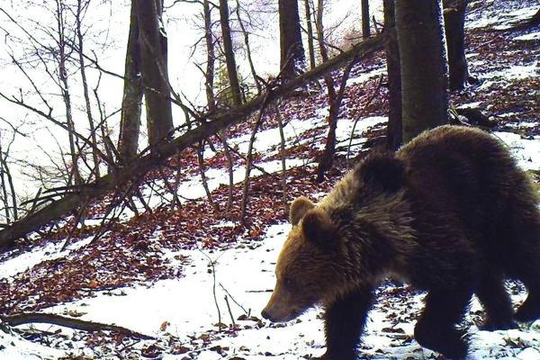 Medvede z brlohov lákajú bukvice.