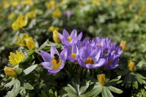 Kvety šafranu.