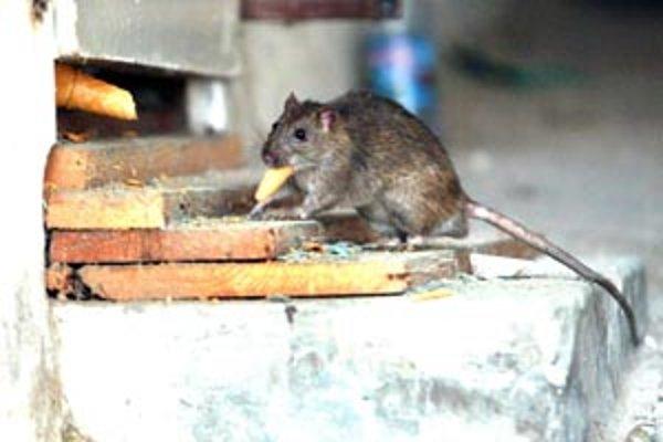 Potkany musia neustále zháňať potravu, pretože bez nej vydržia len päť dní.