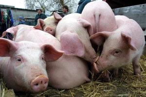 Poľnohospodárske podniky už ošípané takmer nechovajú.