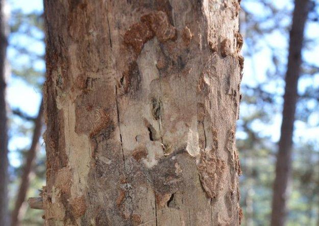 Drevokazný hmyz masívne napadol smrečinu.