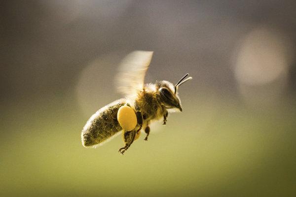 Letiaca včela nesúca peľ.