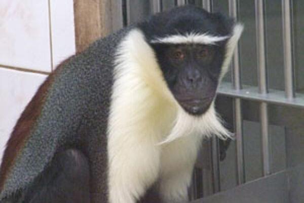 Táto nenápadná opica je najvzácnejším zvieraťom v ZOO.