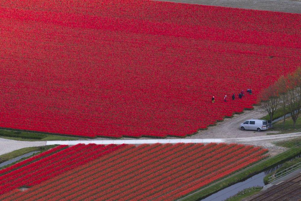 Pestovanie tulipánov v Holandsku.