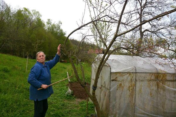Helena Smereková zHenckoviec. Mráz im poškodil aj marhuľový strom.