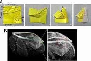 krídlo lienky sa zloží podobne ako origami. Na horných obrázkoch je schéma jeho skladania.
