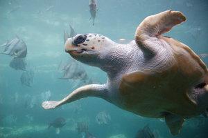 Aj korytnačka kareta obyčajná je ohrozeným druhom. Rovnako aj ostatných šesť druhov morských korytnačiek. Stávajú sa obeťami rybárskych sietí ale ich život ohrozujú aj klimatické zmeny a strata domova.