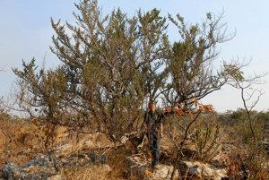 Nový tanzánsky strom barleria mirabilis.
