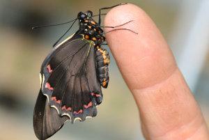 Motýľ battus.
