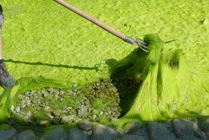 Stačilo pár týždňov a riasy pokryli celé dno jazierka.