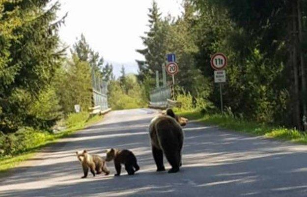 Medvedica s dvoma medvieďatami pri Kokavskom moste.