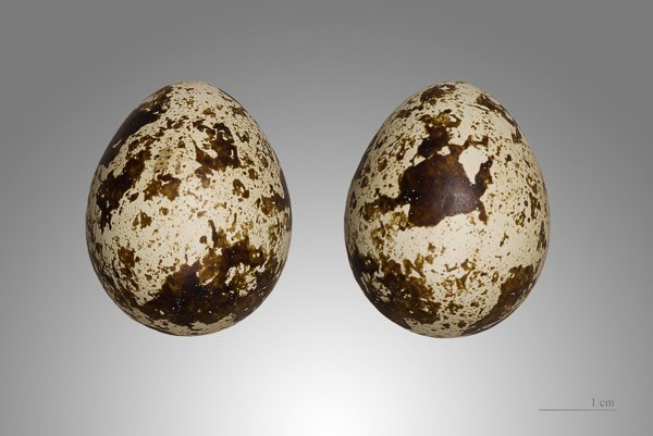 Prepeličie vajíčka.