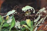Chameleón. Farbu mení podľa pocitov, nie podľa svojho okolia.