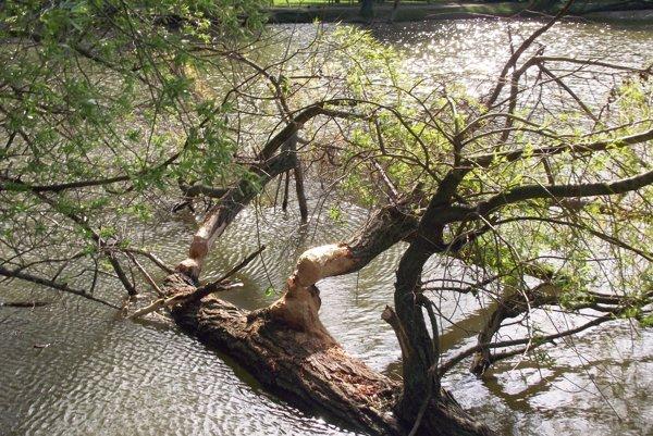 Na jar sa bobry objavili pri Veľkej Hangócke. Aj tu zlikvidovali niekoľko stromov.