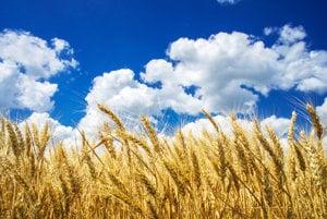 Pšenica alebo špalda?