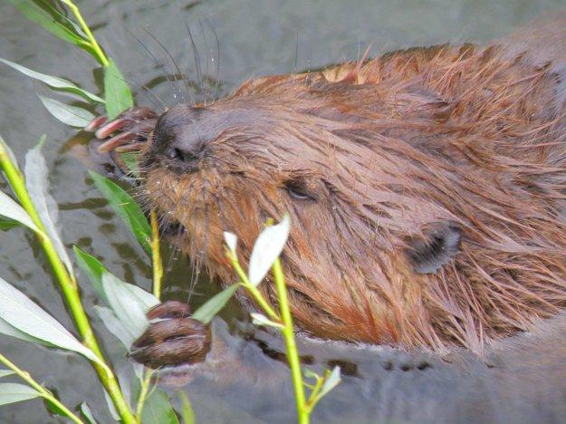 Bobor patrí medzi chránené živočíchy.