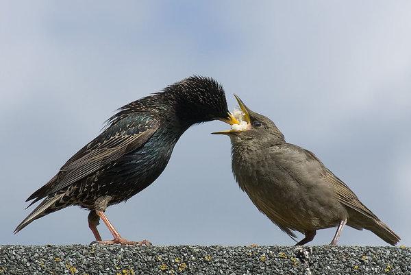 Samica škorca kŕmi svoje mláďa.