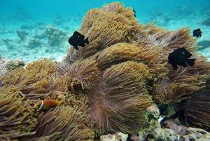 Úkryt u pŕhliacej sasanky hľadajú viaceré podmorské živočíchy - aj klaun očkatý.