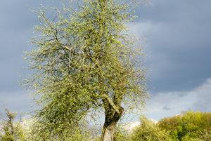 120-ročná jabloň z Bošáce.