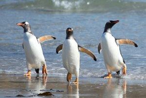 Tučniaky oslie trávia v oceáne veľa času.