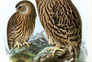 Sovička bielolícia (sceloglaux albifacies) žila iba na Novom Zélande. Vyhynula v roku 1914, pre lov a zavlečenie mačiek, lasíc a krys.