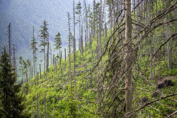 Nové stromy sa vysádzajú do oblastí, ktoré najviac poškodila kalamita.