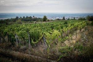 Svätý Jur má asi sto hektárov obrábaných vinohradov.