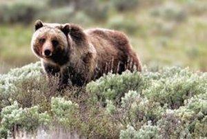 Grizly v Yellowstonskom národnom parku.