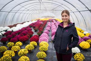 Chryzantémy kvitnú postupne, skoré začínajú už koncom augusta, posledné voktóbri. Dajú sa však pestovať aj celoročne v skleníkoch.