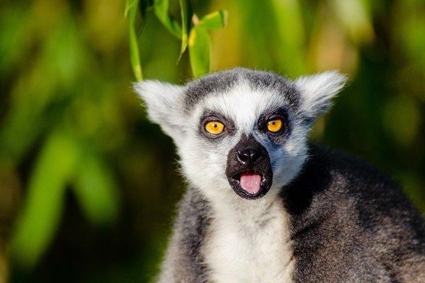 Lemur kata má tiež hladný mozog.