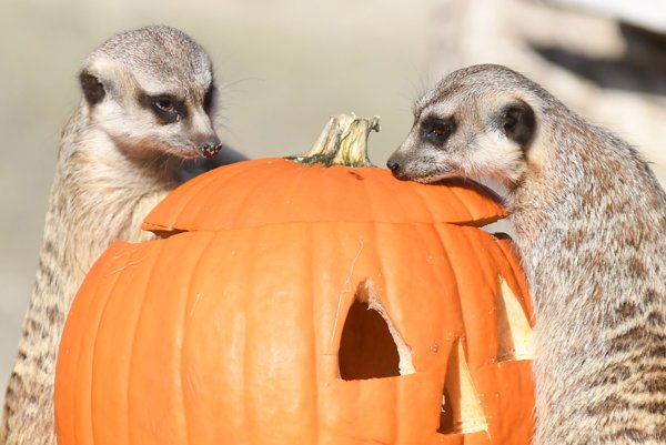 V košickej zoo servírovali zvieratám halloweenské tekvice. Na snímke surikaty vlnkované.