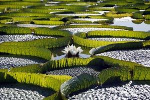 Stovky lekien s názvom viktória kráľovská plávajú na hladine rieky Salado neďaleko paraguajského Limpia.