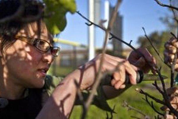 """Iniciatíva Guerilla Grafters v San Franciscu """"prekabátila"""" okrasné dreviny tak, že  niektoré konáre zaštepili ovocnými štepmi"""