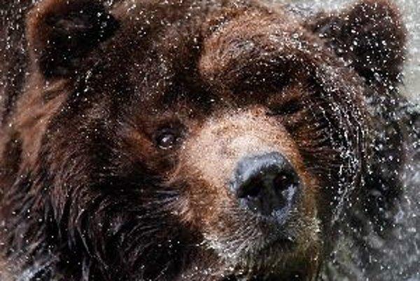 Niektoré medvede zaľahnú do brlohov na Martina, iné si to odložia na Katarínu.